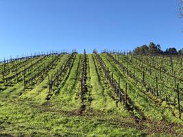 Vineyard rows.