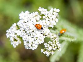 Ladybugs with yarrow.