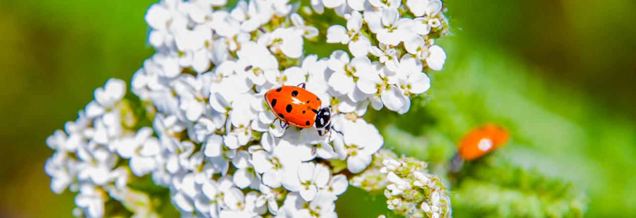 ladybug yarrow